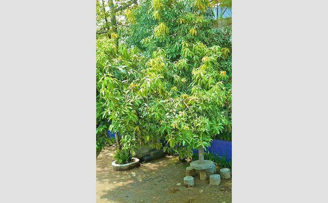 Manggo,Jackfruit and other fruits tree and Garden di Harapan Indah Hotel